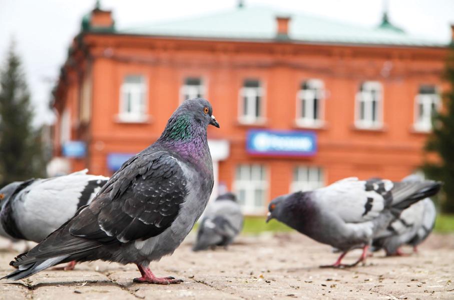 Savannah Pigeons
